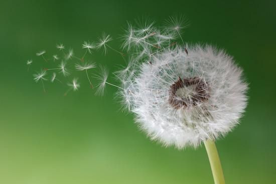 Dandelion Seeds in the Morning Mist Blowing Away across a Fresh Green Background Photographic Print by Flynt at Art.com