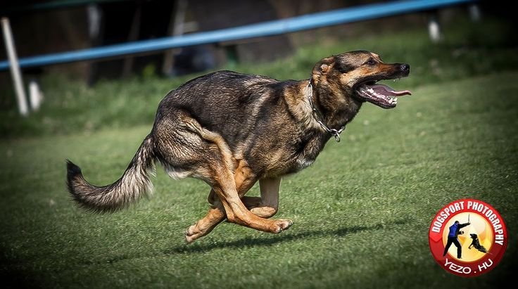 Jenő Zsofcsin EJHA von der Yezo Nevéhez hűen csak a GALOPP http://www.working-dog.eu/dogs-details/999340/Ejha-von-der-Yezo