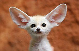 mini fox! (fennec fox) desert fox