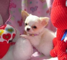 Chihuahua Puppies for Free | Teacup Chihuahua Puppies on Tiny Tea Cup Chihuahua Puppies For Free ...