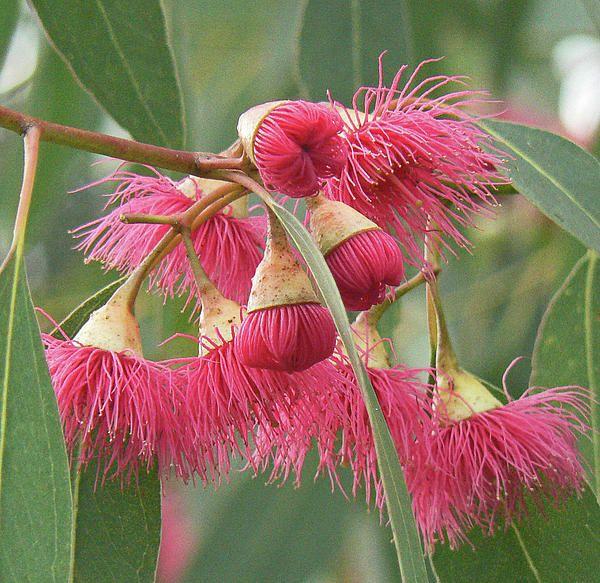 Pink Eucalyptus flower.