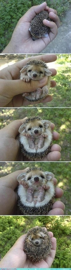 I have officially decided my next pet shall be a little hedgehog named Spike. I shall stroke his tummy and he will do a little hedgehog smile and stick out his little pink tongue. Like(or comment) if Spike sounds adorable