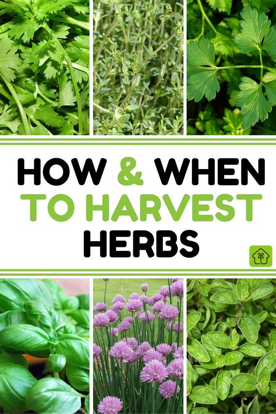 Learn How and When to Harvest Your Herbs