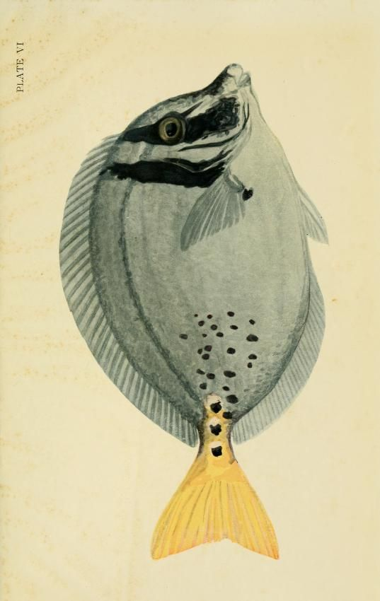 Yellow-tailed surgeonfish. The Arcturus Adventure: An account of the New York Zoological Society's first oceanographic expedition, by William Beebe, 1926.
