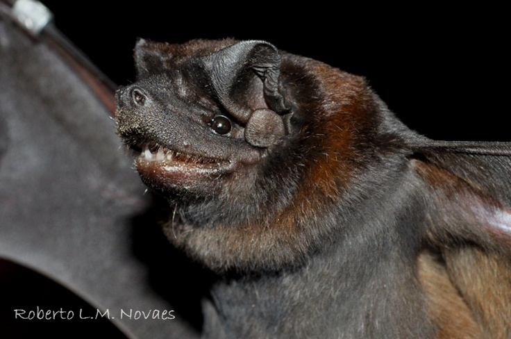 Molossus molossus. (Please place a Bat House on your ...