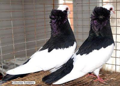 Komorner Tumbler Pigeon /  Felegyhazer Tumbler Pigeon
