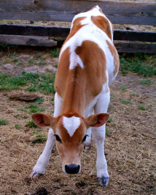 Ranch Farmgirl blog - piebald Jersey heifer calf. these are the prettiest cows, I just love them.