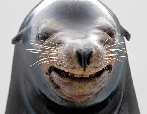 Smile pretty.Photos, Seals, Nature Animal, Happy Face, Smile Animal, Beautiful Smile, Sea Lion, Funny, Make Me Smile