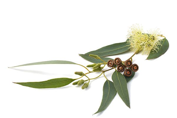 Spotlight on Eucalyptus