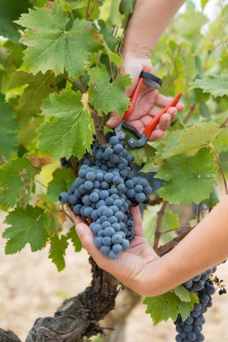 Grape harvest, red wine - Université du Vin de Suze-la-Rousse Full article : http://france.ohlala-bravo.com/magazine-specialized-schools-universite-du-vin.html