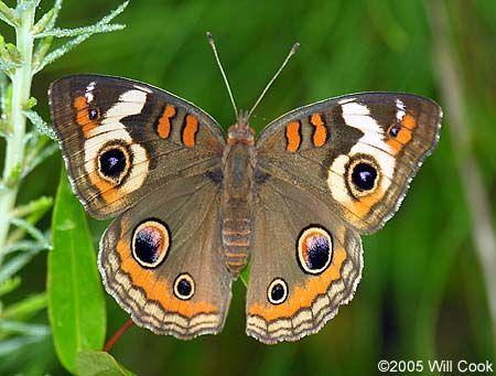 Best Common Buckeye Junonia Coenia 나비 640 x 480