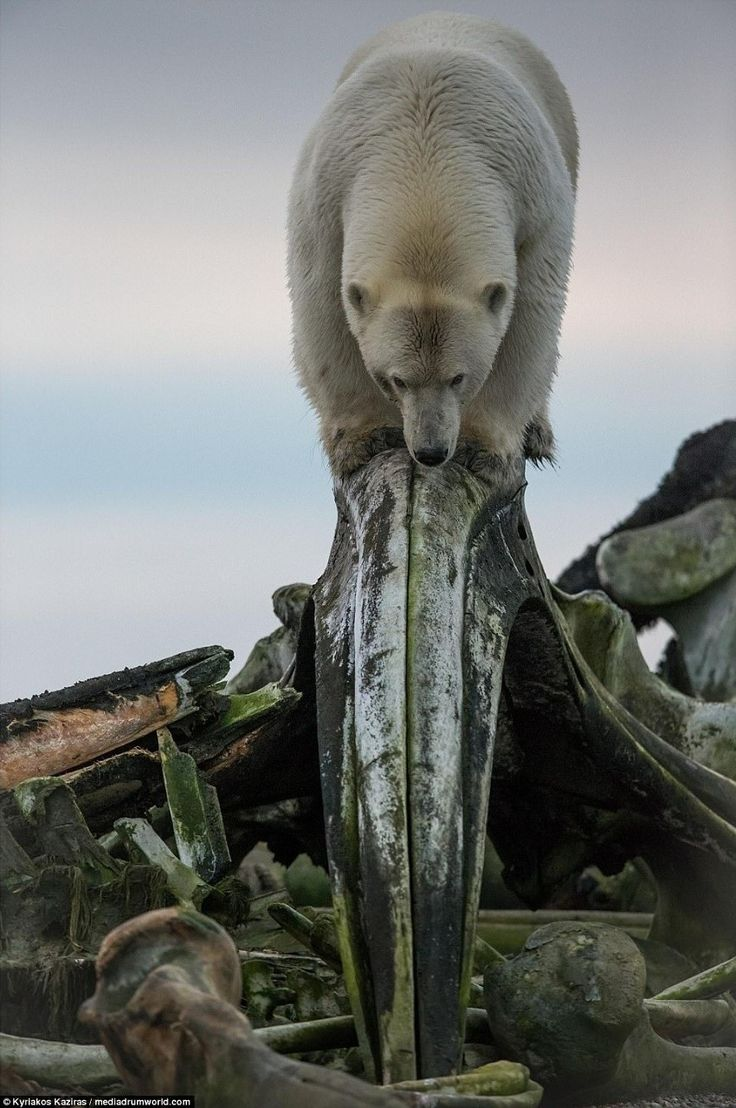 Polar bear and what is left of a whale.