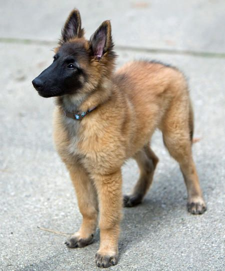 best 25  belgian tervuren ideas on pinterest