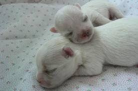Bichon Maltes: origen, cuidados, precio, perro, características, alimentación, imágenes y vídeos: Gestación y Parto del Bichón Maltes + Vídeo