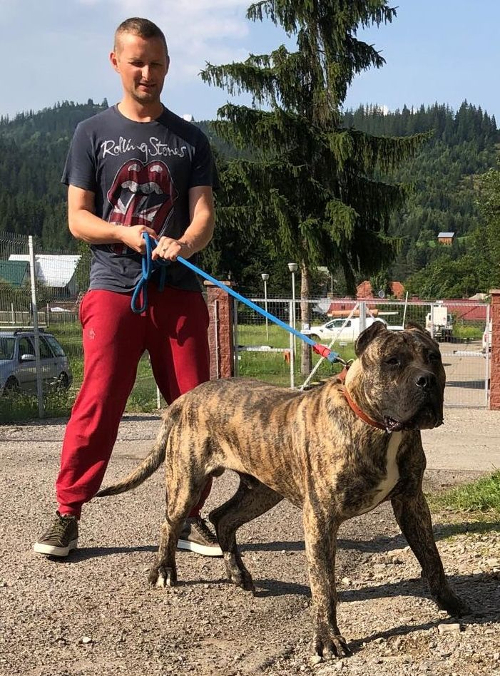 15 Months Old Presa Canario Bad Dog Dogs