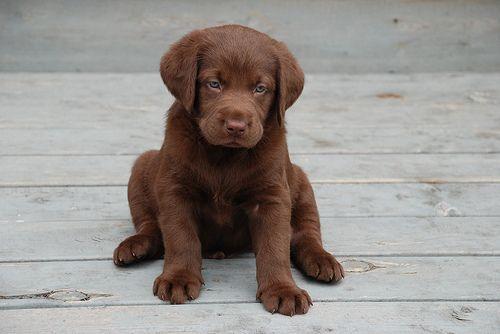 Chocolate Lab Puppy: Labrador Retriever, Little Puppies, Dogs, Pet, Labrador Puppies, Hot Chocolates, Chocolates Labs Puppies, Animal, Socute