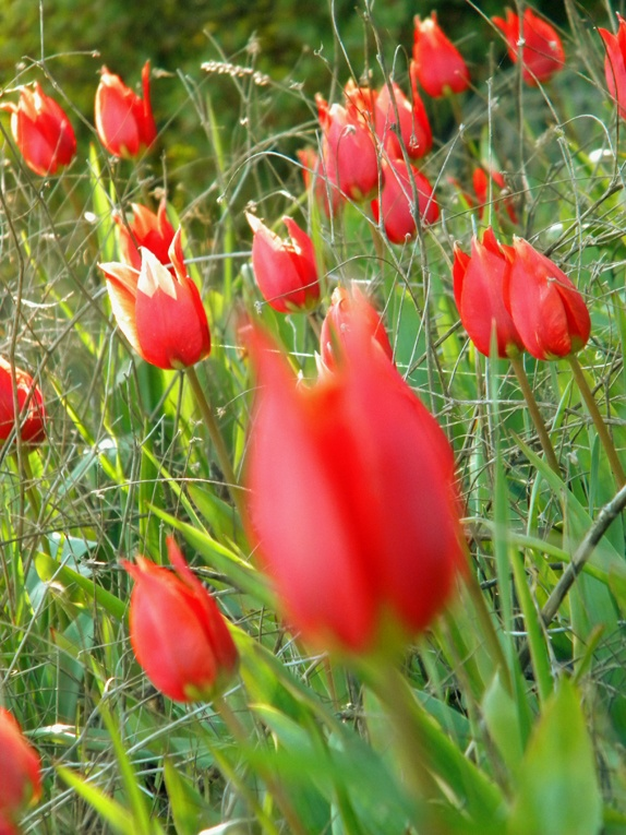 "Gorgeus flowers named: ""lalades"" . A kind of wild tulip, found on Chios island!"