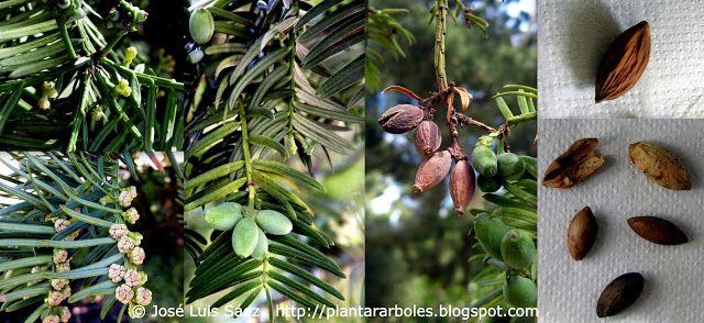 PLANTAR ÁRBOLES y arbustos: Arbustos NO autóctonos de España (Alóctonos)