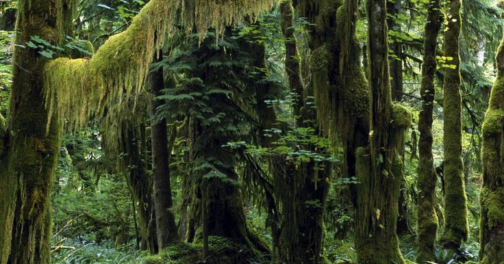 Hervíboros que habitan la selva tropical. Las selvas tropicales son el hábitat de una gran variedad de especies de animales. Los herbívoros son clasificados como consumidores primarios ya que su dieta se compone de vegetación. A pesar del poco crecimiento de plantas en el suelo de los bosques tropicales y debido a copas densas que bloquean la penetración de la luz solar, son varios los ...