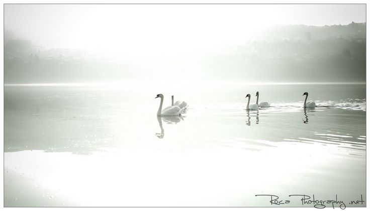 Photograph Swiss swans by Romana Murray on 500px