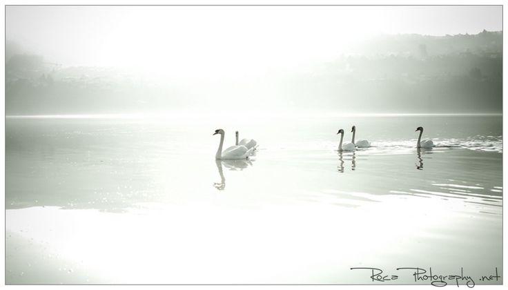 Swiss swans by Romana Murray on 500px