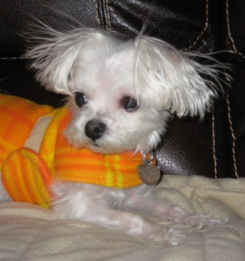 Maltese Rescue Dogs Ny