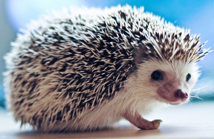 Hedgehog Your Pics Galleries
