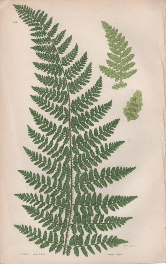 Image result for fern scientific illustration