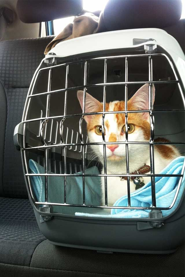 9 Tips For Transporting Cats In Cars Moving Long Distance With Cats Cat Travel Cat Training Cats And Kittens