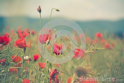 Red poppy flower in field.