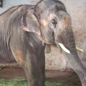 Sunder the tortured elephant final plea for sanctuary life hangs in question