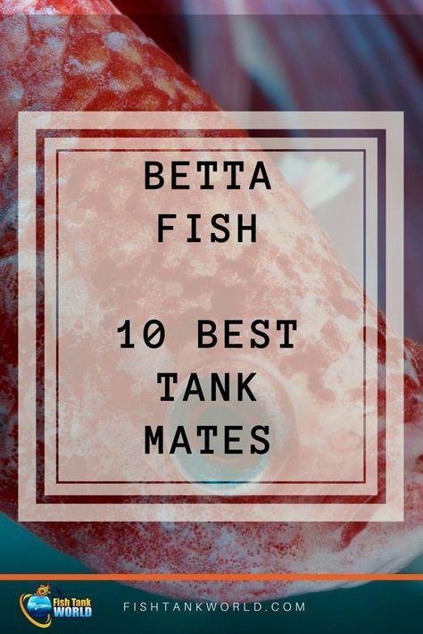 Betta Fish tank mates. The best 10 species to match with your Betta Fish to keep the harmony in the Aquarium. via @fishtankworld0195