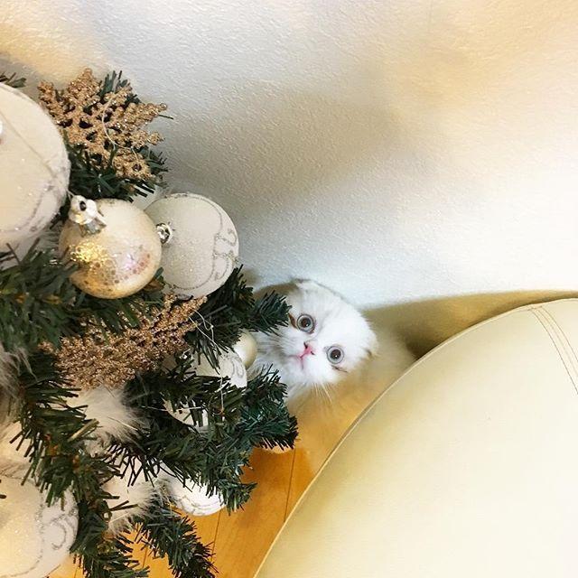 ミントくん、実は娘たちが サンタのプレゼントはいらないから、この猫ちゃん飼いたいと言って飼い始めた猫ちゃん。ミントが我が家にきてから、2週間、今年のクリスマスは、物のプレゼントは無しだけど、娘たち、私たち夫婦にとって最高のプレゼントになりました🎁ありがとう、ミント💕HAPPY CHRISTMAS💕 #クリスマスプレゼント #クリスマス #cat  #cats  #愛猫 #ねこ #猫 #ねこ部 #catstagram  #スコティッシュフォールド