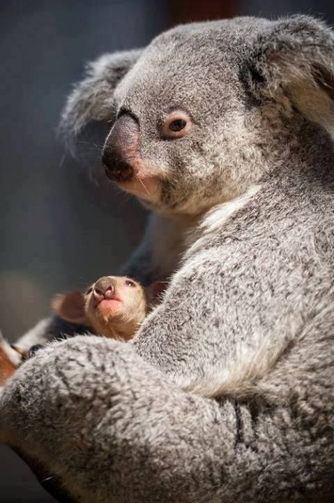 Baby Koala Noses Its Way Out of the Pouch!