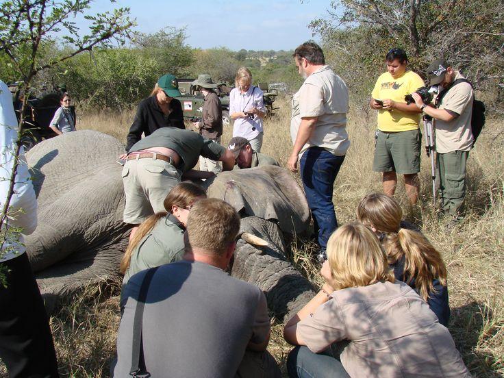 Elephant collaring experience