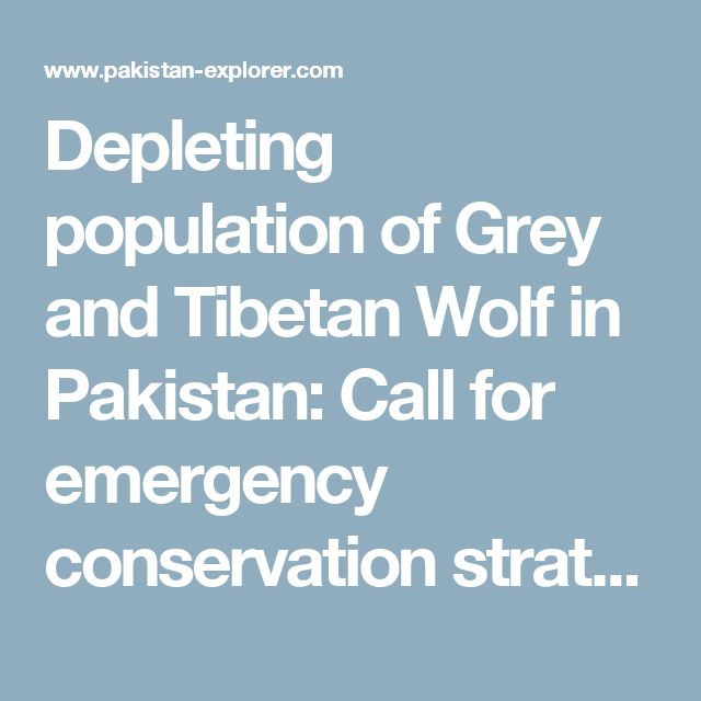 Depleting population of Grey and Tibetan Wolf in Pakistan: Call for emergency conservation strategies - Pakistan Explorer - A Travel & Media Company