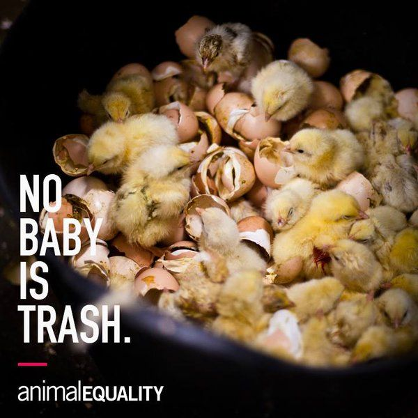 Male chicks in the egg industry aren't 'needed', so before they are even a day old they are ground up alive, gassed, or thrown into dumpsters as if they were garbage.
