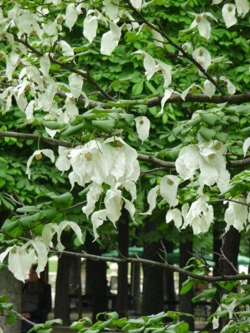 Davidia involucrata. A beautiful ornamental tree up to 15m x 10m producing these elegant bracts in May-June.  heart-shaped leaves turn a rich plummy colour in autumn.