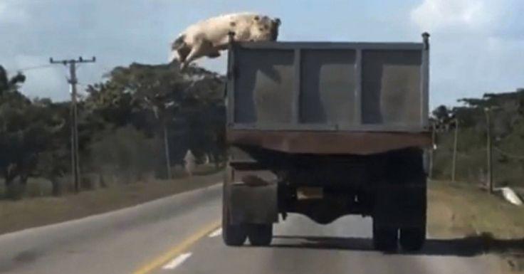 Πήγαιναν τα Γουρούνια για Σφαγή όταν Ξαφνικά ένα Γουρούνι πήδηξε έξω από την Καρότσα. Η Συνέχεια; Θα σας Κόψει την Ανάσα! Crazynews.gr