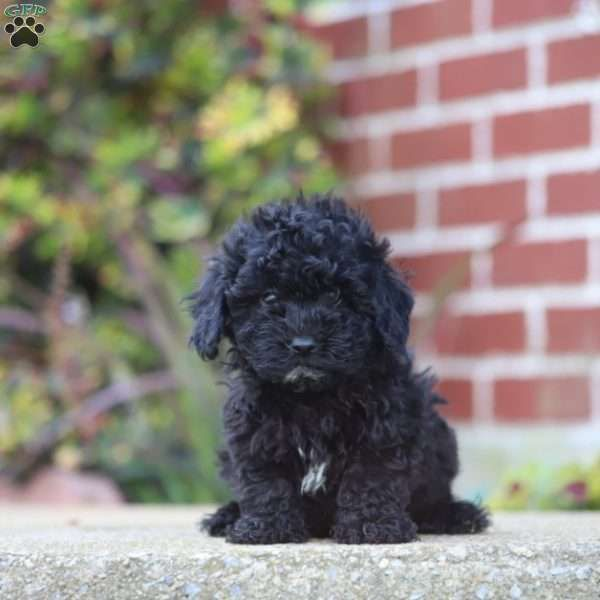 Penny Havapoo Puppy For Sale In Pennsylvania With Images