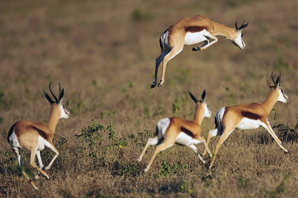Thomson Gazelle Pronking. What's the difference between the Thomson gazelle and the Springbok?