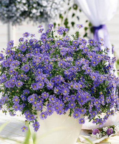 Balkon-Gänseblümchen blau