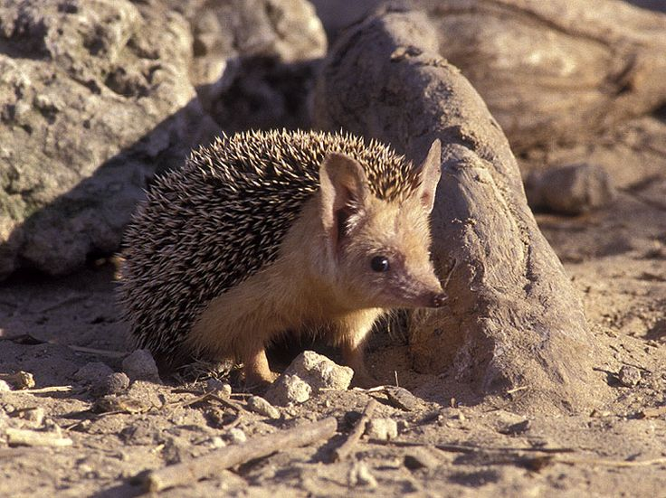 Long Eared  or  Desert Hedgehog