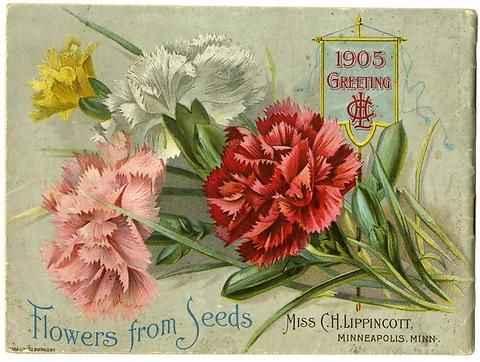 "The back cover of Carrie Lippincott's 1905 catalog features carnations and a banner with Miss Carrie H. Lippincott's initials and the date.  Carrie Lippincott, the self-proclaimed ""pioneer seedswoman"" and ""first woman in the flower seed industry"" established her mail-order flower seed business in Minneapolis in 1891. Sending out smaller 5 inch by 7 inch catalogs with colorful covers her business was aimed at women customers."