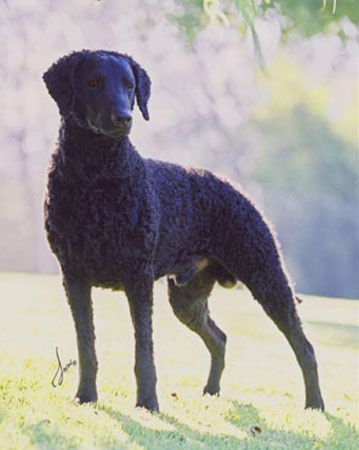 Curly-Coated Retriever in the sunlight.