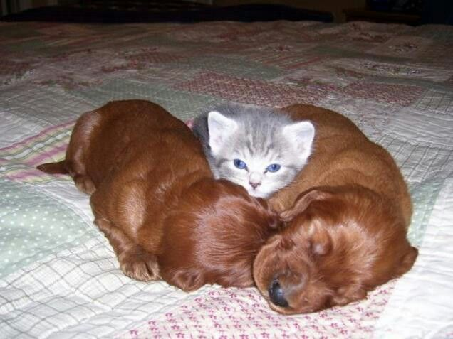 Puppies with kitty pal