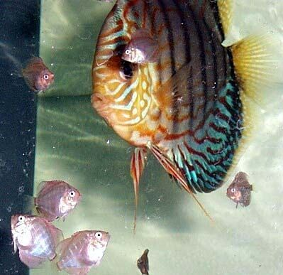 Discus Breeders - Baby Discus after being fed brine shrimp