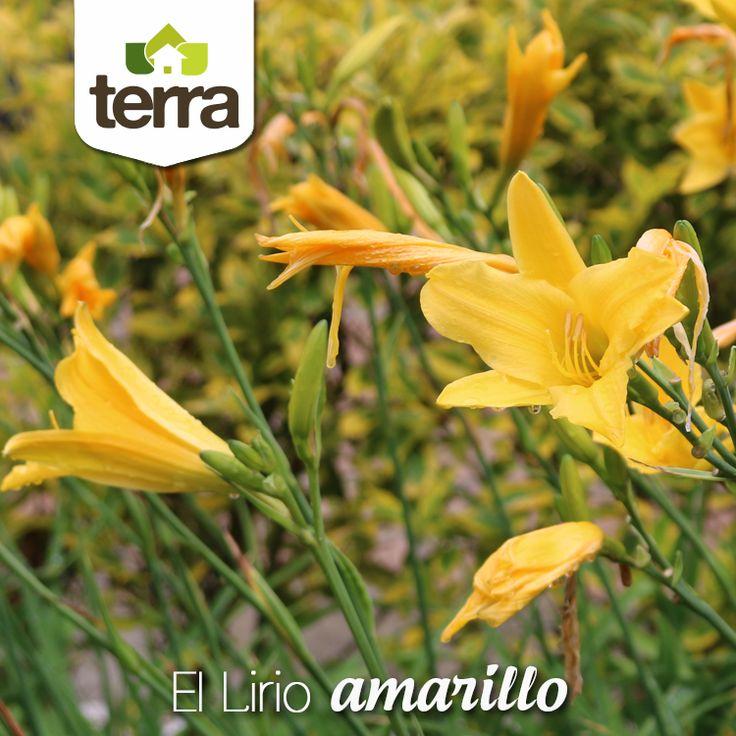 ¿ #SabíasQue las flores amarillas simbolizan la autenticidad y el amor por la naturaleza?, son las flores de las madres serenas y alegres. El #LirioAmarillo es una planta perfecta para que imprimas tu buena energía en los jardines.