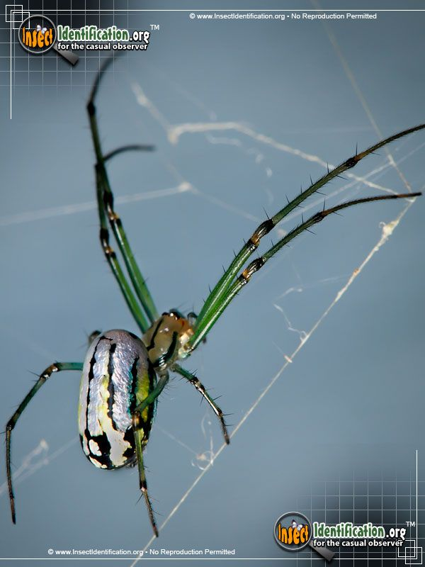 Venusta Orchard Spider Pictures Gallery, plus a state by state and critter type by critter type bug finder. really cool.