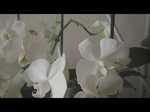 Как получить детку орхидеи(фаленопсис) - YouTube